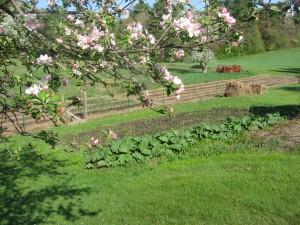 Apple blossom, rhubarb, asparagus beds
