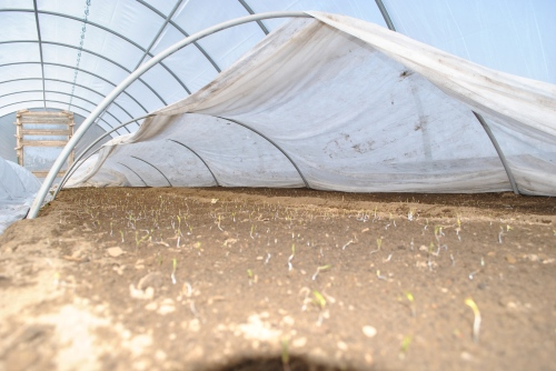 Inside the small hoophouse, the first bed of carrots has emerged.